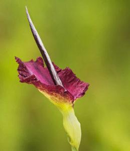 Teufelszunge - Konjak Pflanze